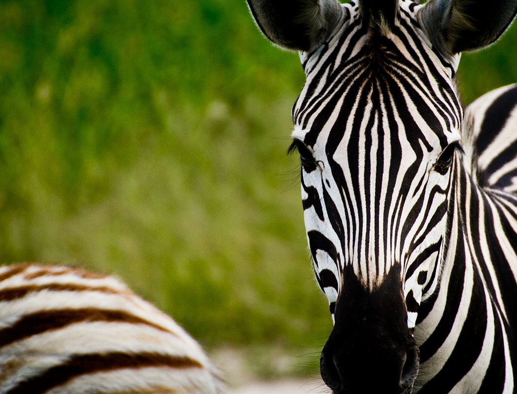 Zebra seen on game drive to Baines Baobabs with Okavango Coach House, budget camping safaris